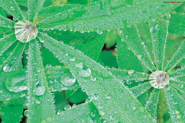 Lupinus con gotas de agua