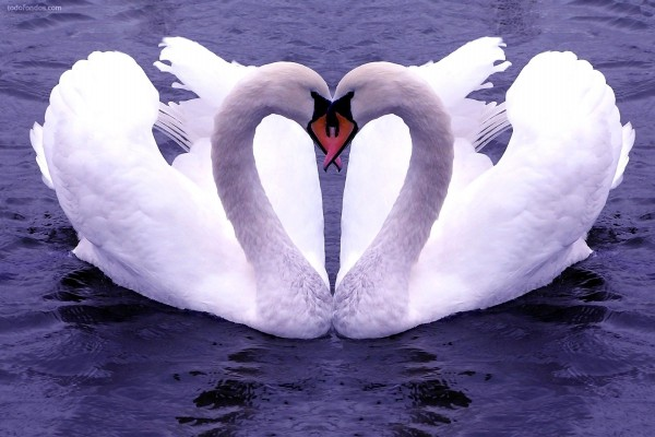 Pareja de cisnes
