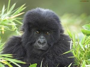 Gorila de montaña, Parque Nacional de los Volcanes (Ruanda)