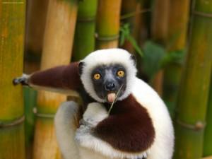 Lémur, Madagascar