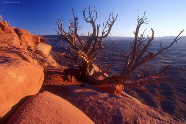 Juniperus, en el Parque Nacional Tierra de Cañones (Utah)