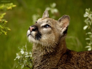 Postal: Puma