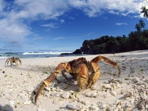 Cangrejos de los cocoteros (Isla de Navidad)