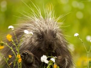 Postal: Puercoespín comiendo flores