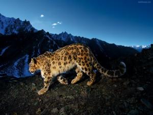 Snow Leopard Prowl