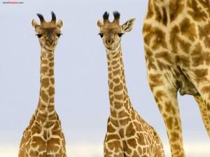 Postal: Dos jóvenes jirafas