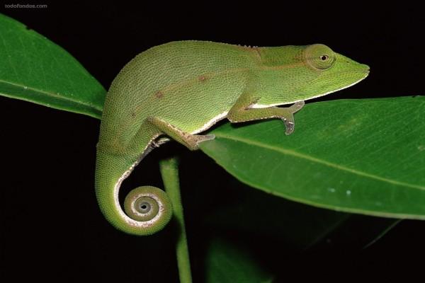 Camaleón por la noche