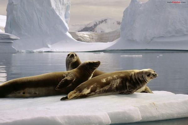 Focas en el Polo Sur (Antártida)