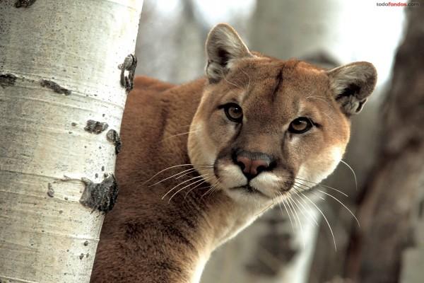 Puma salvaje