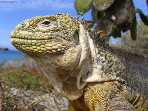 Postal: Iguana de las Galápagos