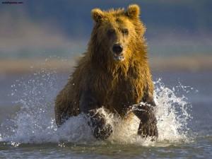 Postal: Oso pardo en Hallo Bay, Alaska