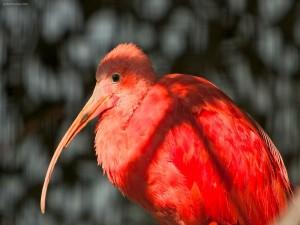 Postal: Ibis escarlata o Corocoro