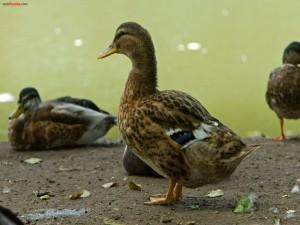 Patos en la orilla