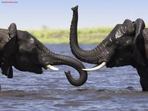 Elefantes africanos en el río Cuando (o Kwando), Botsuana