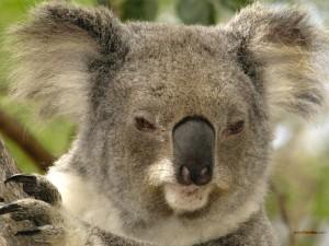 Postal: Un koala somnoliento