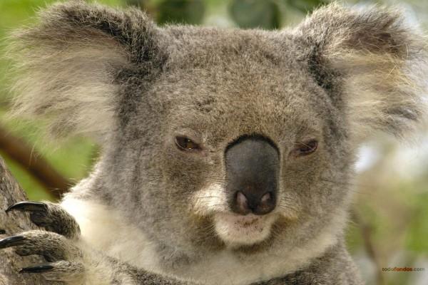 Un koala somnoliento
