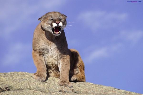 Puma rugiendo