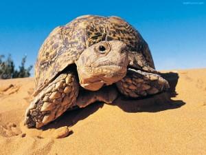 Postal: Tortuga leopardo