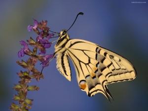 Mariposa perro