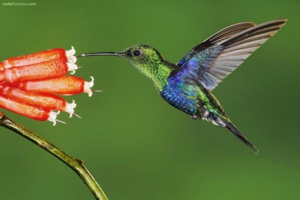 Colibrí azul y verde