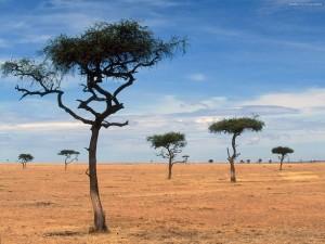 Postal: Acacias en Kenia
