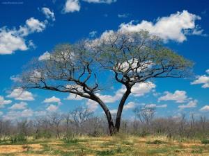 Árbol de dos troncos