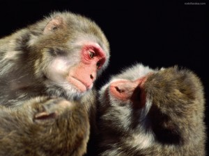 Postal: Monos acicalándose