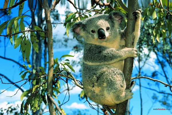 Koala trepando a un eucalipto