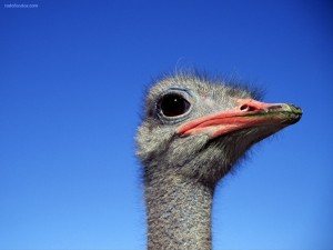 Postal: Cabeza de avestruz