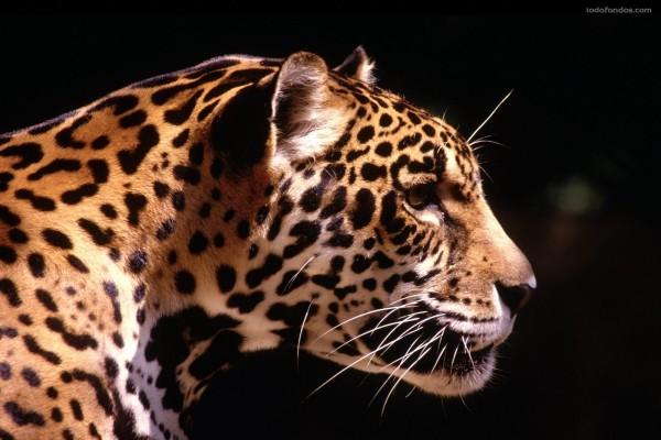 Perfil de leopardo