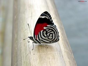 Mariposa rojiblanca