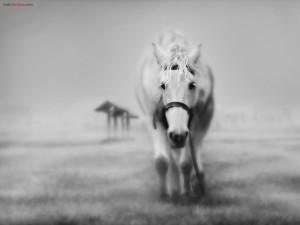 Postal: Caballo blanco