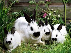 Postal: Familia de conejos blancos