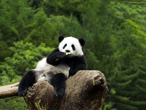 Postal: Oso panda sentado en un tronco
