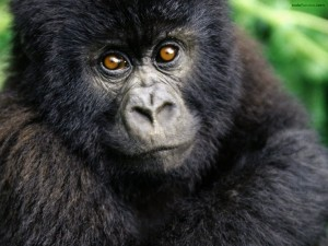 Postal: Bebé gorila