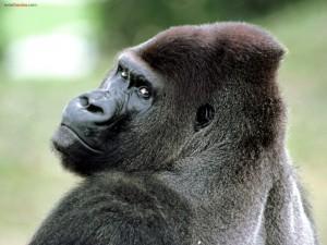 Postal: Un gorila mirándote