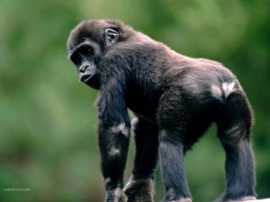 Pequeño gorila