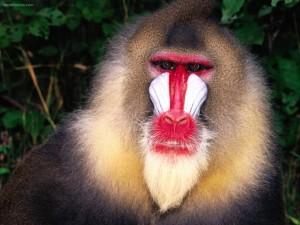 Postal: Mono de cara blanquiroja