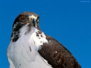 Mirada de halcón
