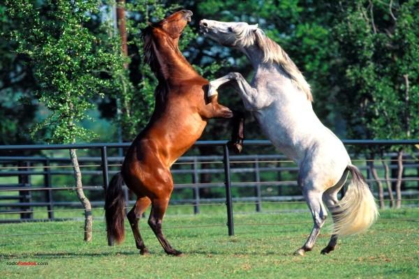 Caballos peleandose