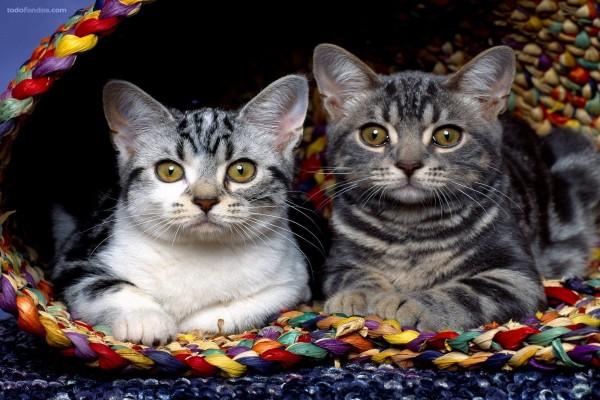 Pareja de gatitos