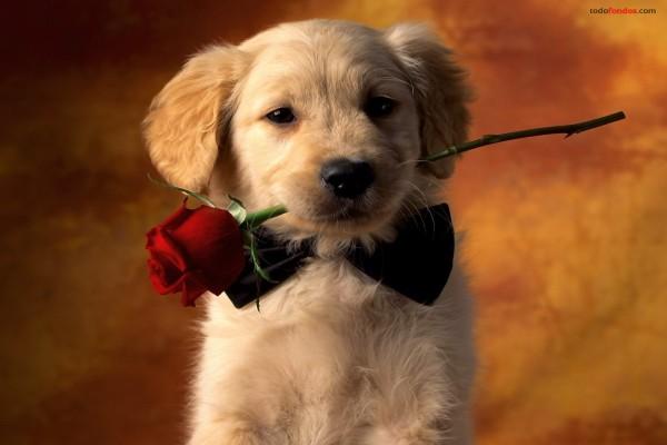 Perro con pajarita y una rosa en la boca