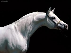 Postal: Caballo blanco albino