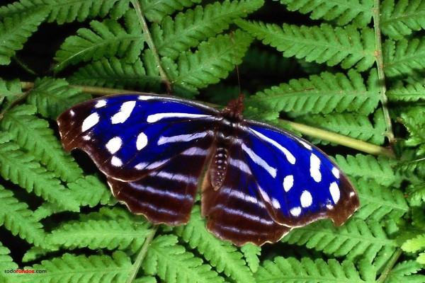 Mariposa azul y blanca sobre helechos