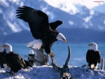 Reunión de águilas