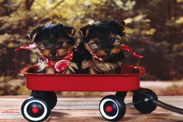 Cachorros de terrier