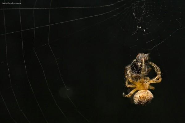 Araña devorando su presa
