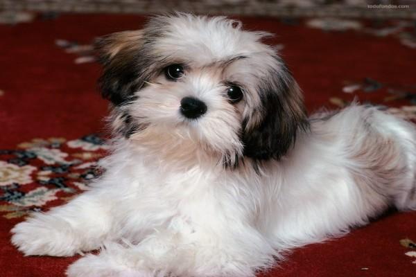 Perrito blanco de lana
