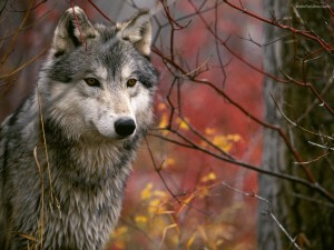 Postal: Lobo gris