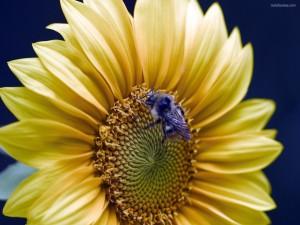 Postal: Abeja en una flor amarilla